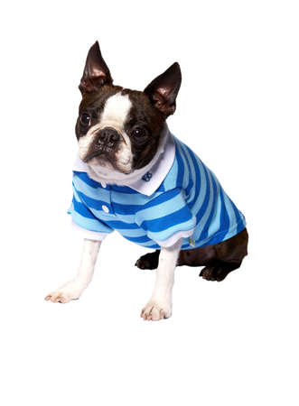 dog in clothing, dressed up, pet Stock Photo - 5201707