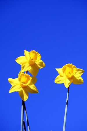 Yellow daffodils with a blue sky as background. photo