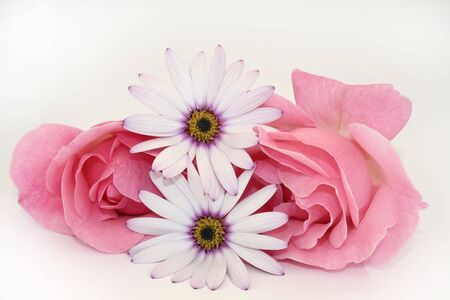 Two pink roses with two cape daisies. photo