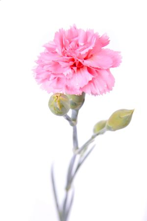 Pink Carnation on a white background.