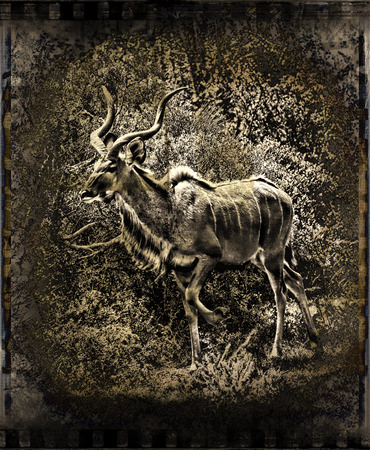 Abstract image of a kudu bull in the African bush as a vintage photograph. photo