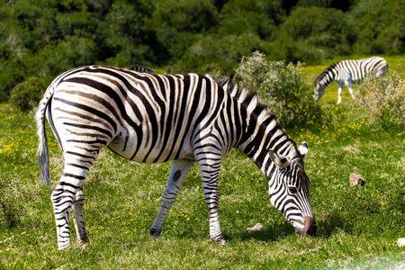zebra: Cebra en un parque de safari en Sudáfrica.