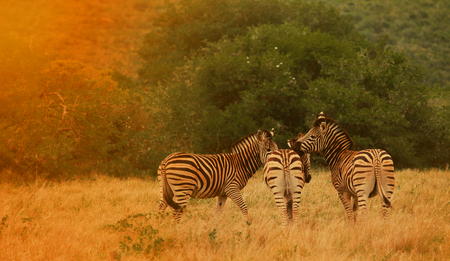 Zebras at sunset.