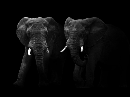 Abstract black and white image of two African elephant bulls walking out of the dark.