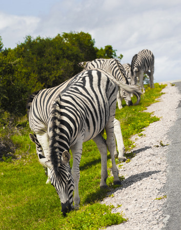 Zebras in a safari park in South Africa.