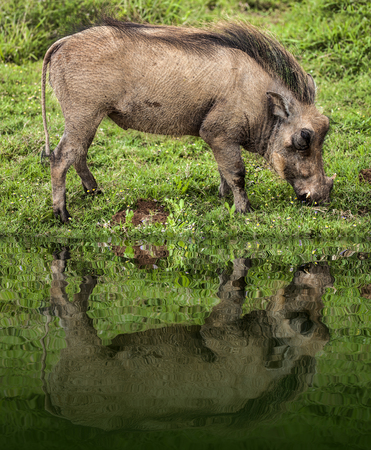 Warthog feeding on a grass plane in a safari park in South Africa.