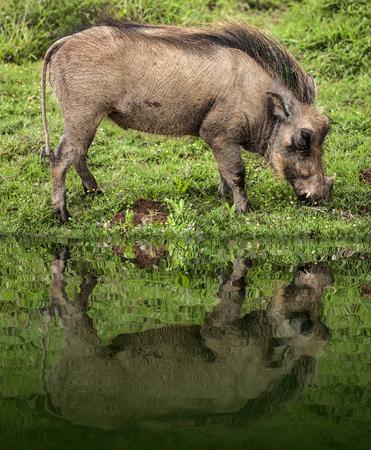 Warthog feeding on a grass plane in a safari park in South Africa.