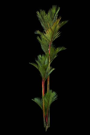 Palm oil tree isolated on black background