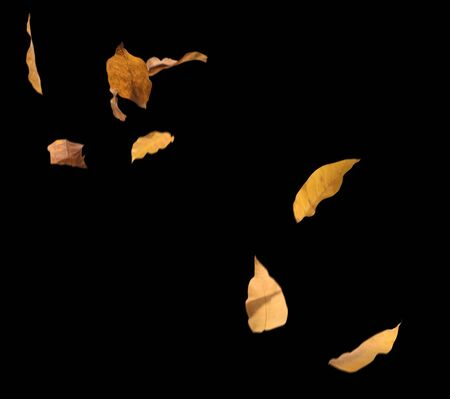 Set of dry dead autumn leaves falling down isolated on black background 免版税图像