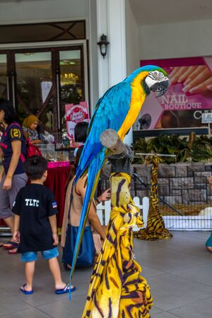 The blue-yellow colour Macaw parrot posing on a wood stick in a mini zoo. Ara macaw parrot. 写真素材