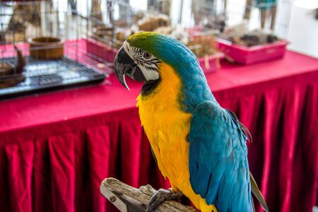 Close up view of blue-yellow macaw parrot portrait. Ara macaw parrot.