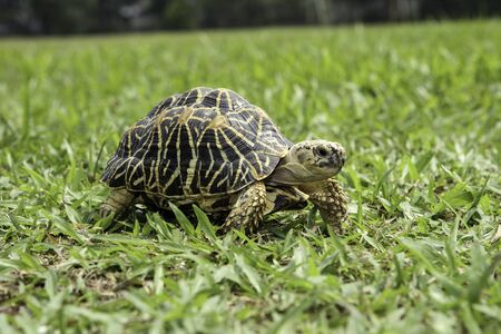 Turtle detail walking on the grass