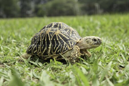 Close up view of turtle walking on the grass.