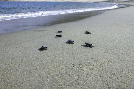 Group of baby sea turtle release into ocean Foto de archivo