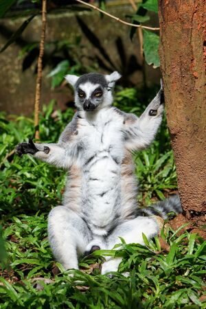 Ring tailed lemur sitting, Lemur catta close up portrait.