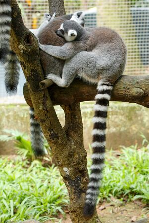 Group of ring-tailed lemur (Lemur catta) at zoo. Wildlife animal.