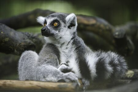 Ring tailed lemur sitting and stare at the same direction.