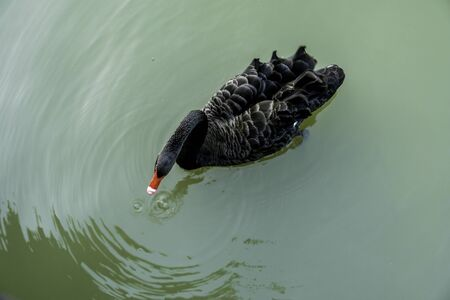 Beautiful black swan on the lake. 版權商用圖片