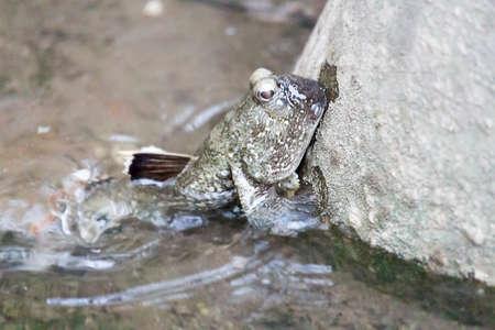 mudskipper: common mudskipper Stock Photo