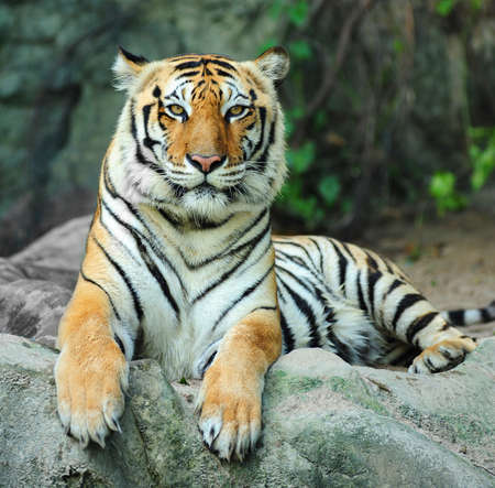 Indian tiger on rock photo