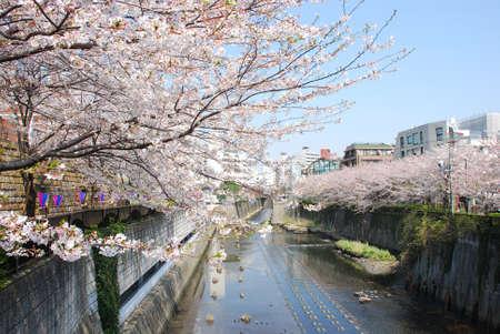 japanese sakura blossom in meguro canal photo