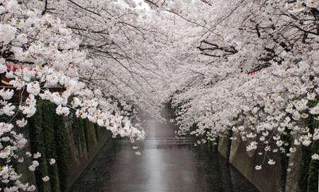 cerisier fleur: arbres de cerisiers en fleurs, Tokyo Banque d'images
