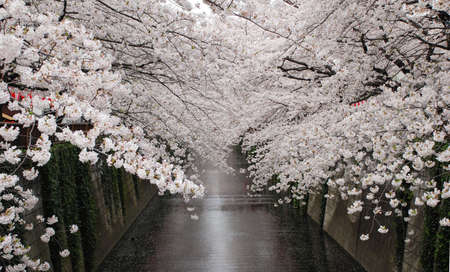 arbol cerezo: �rboles en flor de cerezo, Tokio
