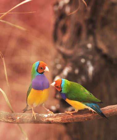 finch: Gouldian Finch colorful bird