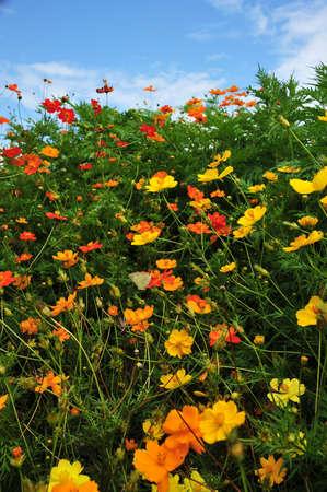 cosmos flowers: summer field cosmos flower