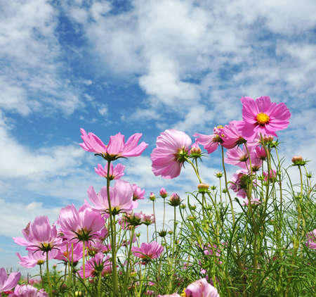 with pollen: pink cosmos flower