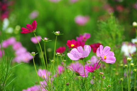 pink cosmos flower closeup