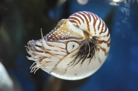 buoyancy: living nautilus swimming  Stock Photo