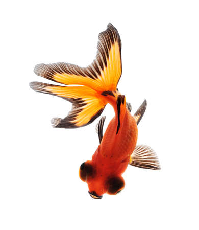 queue poisson: Goldfish isol�es sur fond blanc Banque d'images