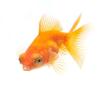 gold fish isolated on white background Stock Photo - 10575995