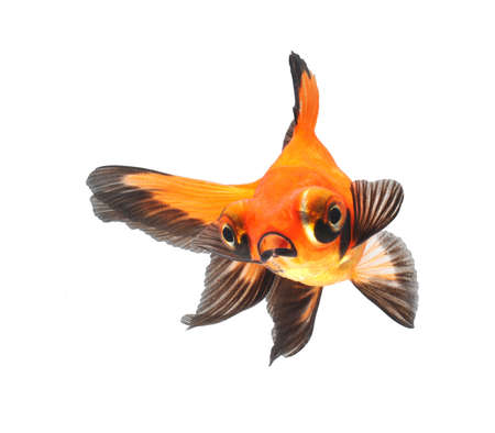 white  fish: gold fish isolated on white background
