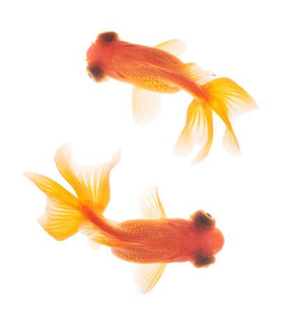 Рыбки золотые плавают в аквариуме наверху