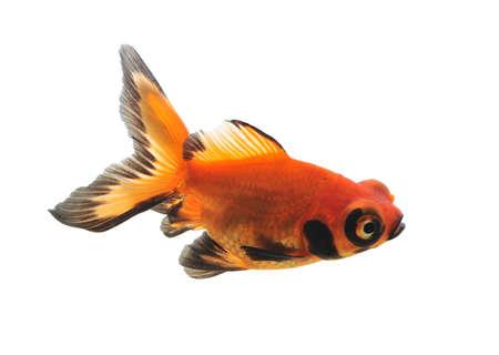 goldfish isolated on white background Stock Photo - 10616573