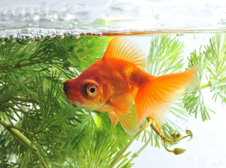 aquarium hobby: goldfish in fishbowl Stock Photo