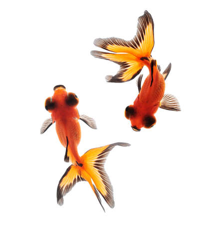 butterfly fish: fancy goldfish isolated on white background