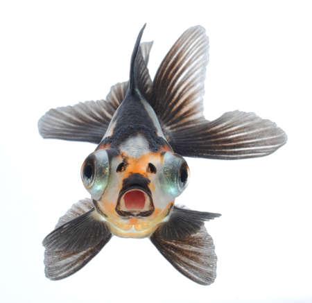 japanese dragon: goldfish pet isolated on white background