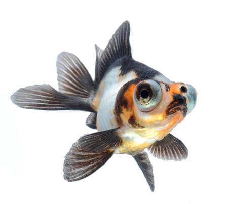 złota rybka: goldfish zwierzę samodzielnie na białym tle Zdjęcie Seryjne