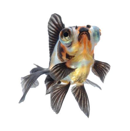 goldfish pet isolated on white background Stock Photo - 10705071