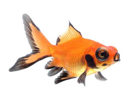 goldfish pet isolated on white background photo
