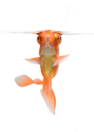 goldfish pet isolated on white background photo