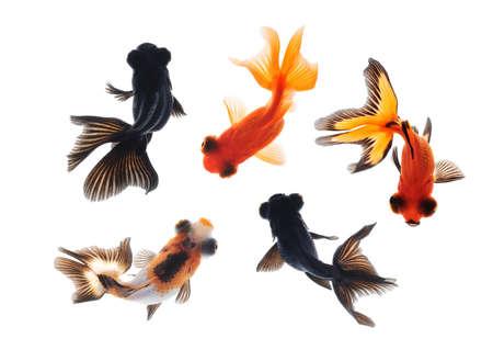 Goldfish pet isolé sur fond blanc