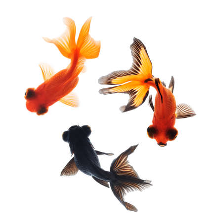telescopes: goldfish pet isolated on white background