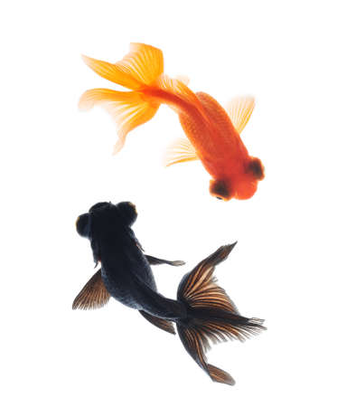 black moor: goldfish pet isolated on white background