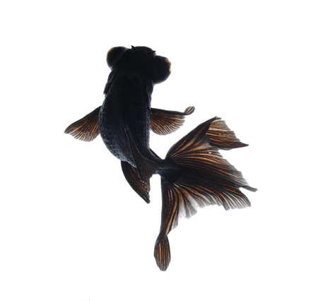 złota rybka: ZÅ'ota Rybka domowe izolowanych na biaÅ'ym tle Zdjęcie Seryjne