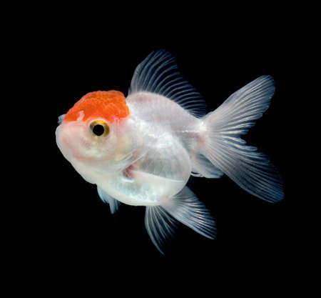 tanjo: white goldfish on black background