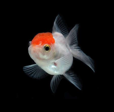 aquarium hobby:  white goldfish on black background